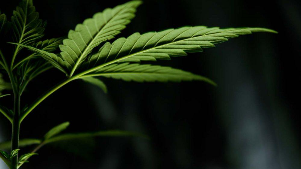 Kannabislehti