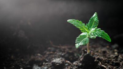 Valokuva, jossa kannabiksen taimi ja multaa.